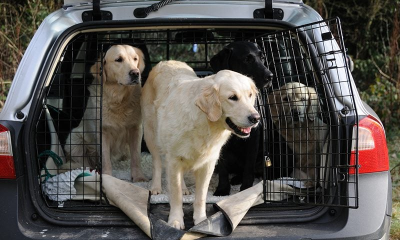 Motorists face fines for not restraining their pets in the car