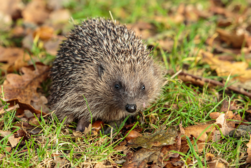 Hedgehog road signs are being introduced to help improve road safety on rural roads in the UK.
