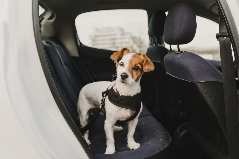 A dog wearing a safety harness and seat belt