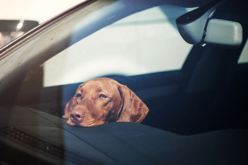 A dog left alone in car